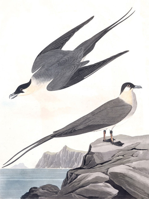 Art Prints of Arctic Yager by John James Audubon
