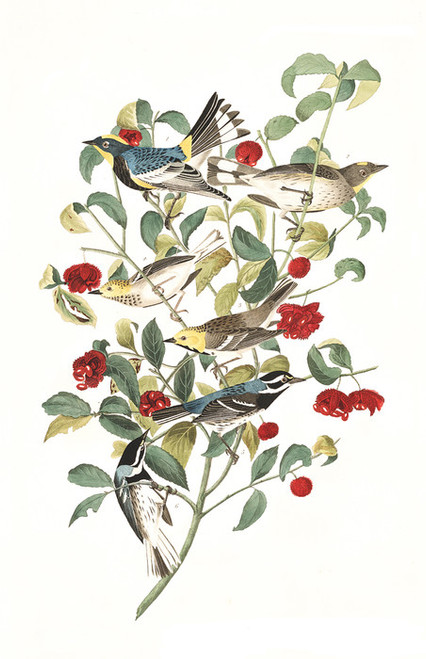 Art Prints of Audubon Warbler by John James Audubon