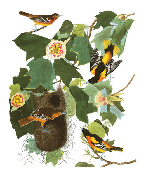 Art Prints of Baltimore Oriole by John James Audubon