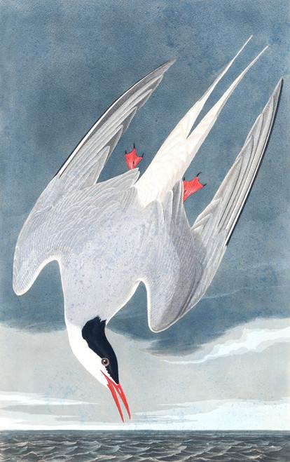 Art Prints of Arctic Tern by John James Audubon