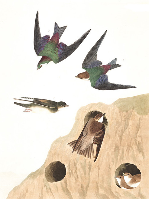 Art Prints of Bank Swallow by John James Audubon