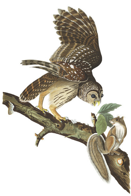 Art Prints of Barred Owl by John James Audubon