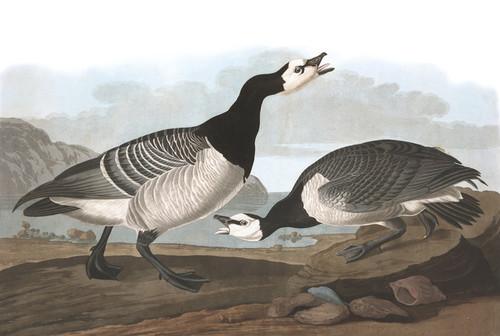 Art Prints of Barnacle Goose by John James Audubon