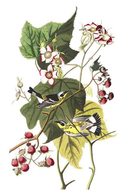 Art Prints of Black and Yellow Warbler by John James Audubon
