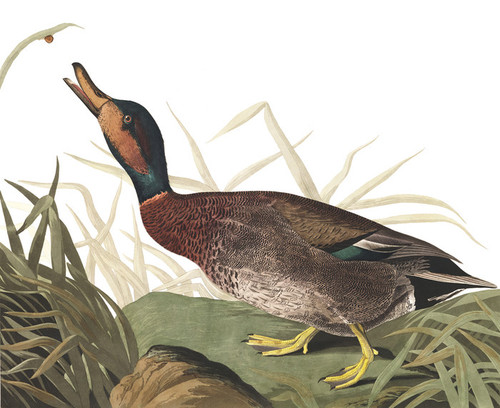 Art Prints of Bemaculated Duck by John James Audubon