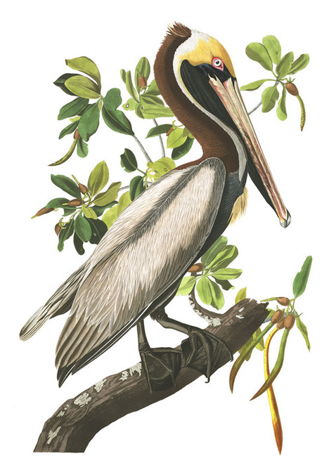 Art Prints of Brown Pelican by John James Audubon