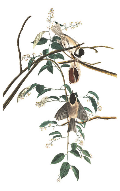 Art Prints of Carolina Titmouse by John James Audubon