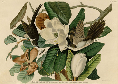 Art Prints of Black Billed Cuckoo by John James Audubon