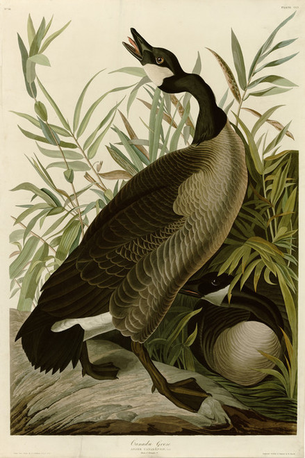 Art Prints of Canada Goose by John James Audubon