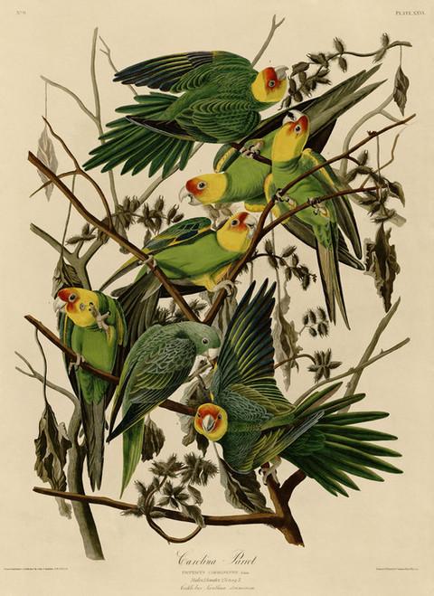 Art Prints of Carolina Parakeet by John James Audubon
