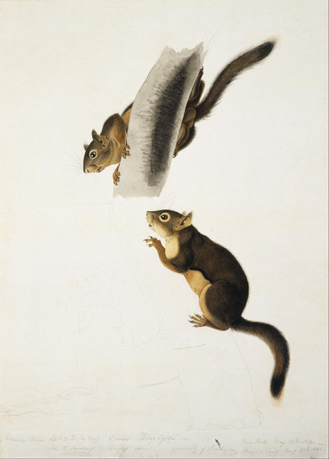 Art Prints of Douglass Squirrel by John James Audubon