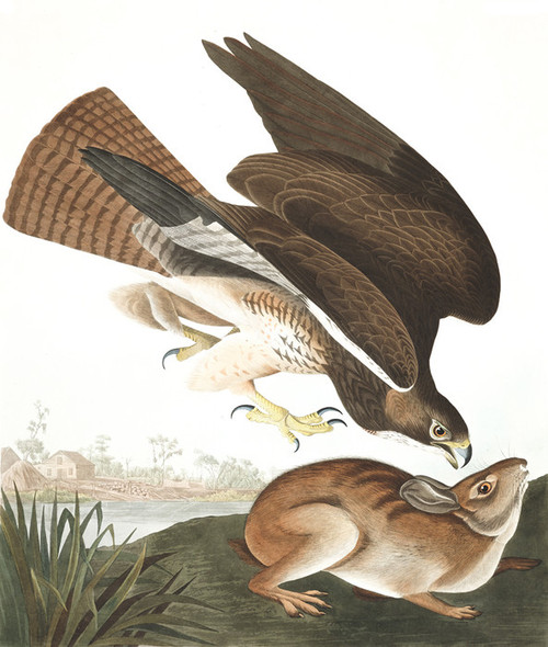 Art Prints of Common Buzzard by John James Audubon