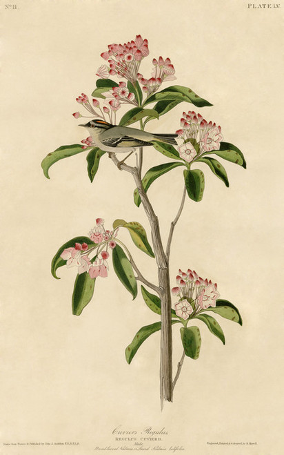 Art Prints of Cuvier's Regulus by John James Audubon
