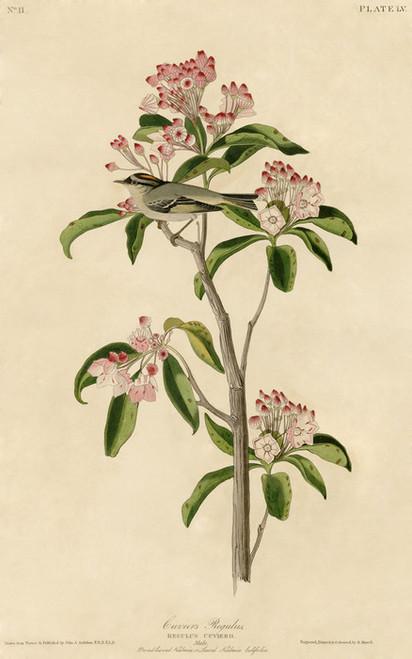 Art Prints of Cuvier's Regulus by John James Audubon