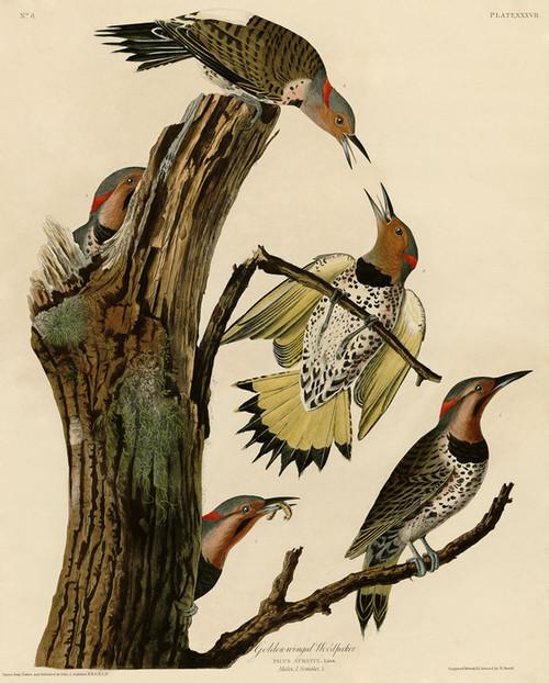 Art Prints of Golden Winged Woodpecker by John James Audubon