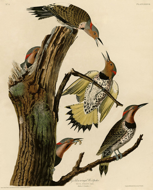 Art Prints of Golden Winged Woodpecker by John James Audubon