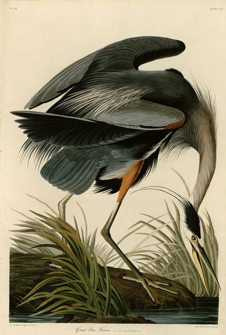 Art Prints of Great Blue Heron by John James Audubon