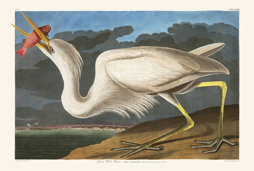 Art Prints of Great White Heron by John James Audubon