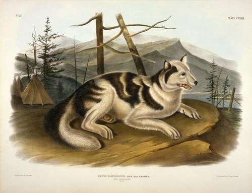 Art Prints of Hare, Indian Dog by John James Audubon