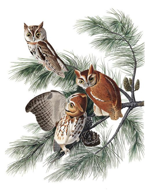 Art Prints of Little Screech Owl by John James Audubon