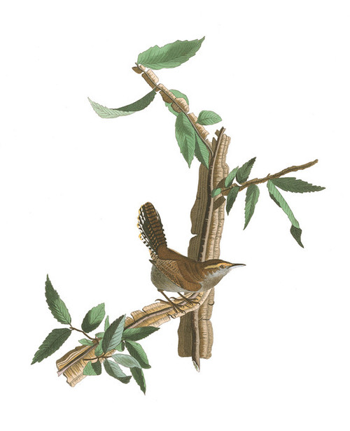 Art Prints of Long Tailed Wren by John James Audubon