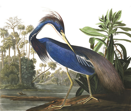 Art Prints of Louisiana Heron by John James Audubon