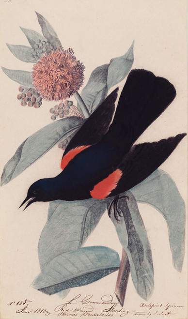 Art Prints of Red Winged Blackbird by John James Audubon