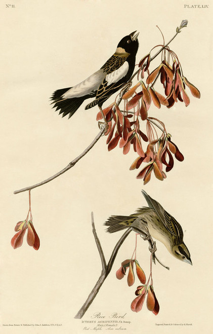 Art Prints of Rice Bird by John James Audubon