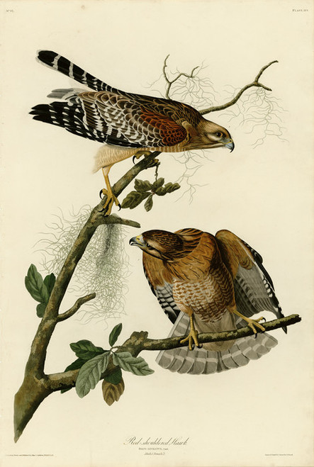 Art Prints of Red Shouldered Hawk by John James Audubon