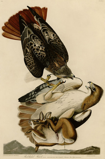 Art Prints of Red Tailed Hawk by John James Audubon