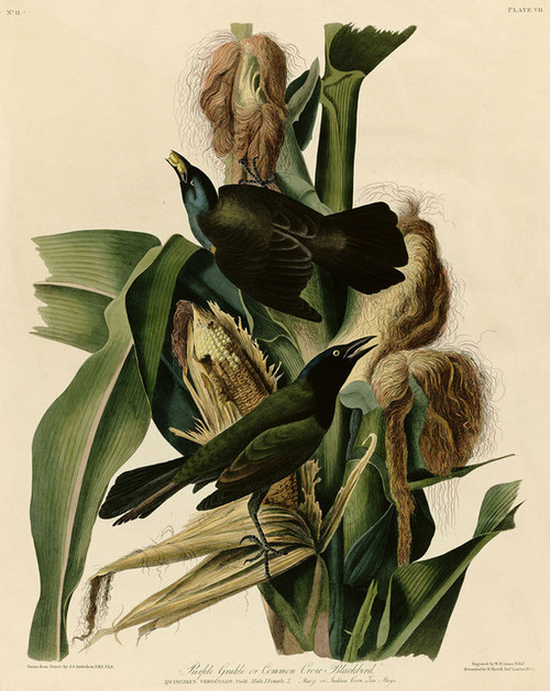 Art Prints of Purple Grackle or Common Crow, Blackbird by John James Audubon