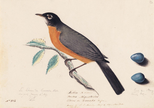 Art Prints of Robin by John James Audubon