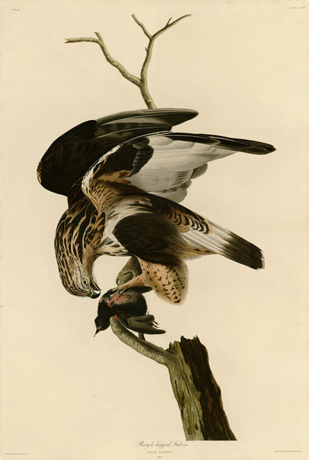 Art Prints of Rough Legged Falcon by John James Audubon
