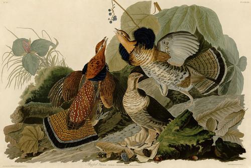 Art Prints of Ruffed Grouse by John James Audubon