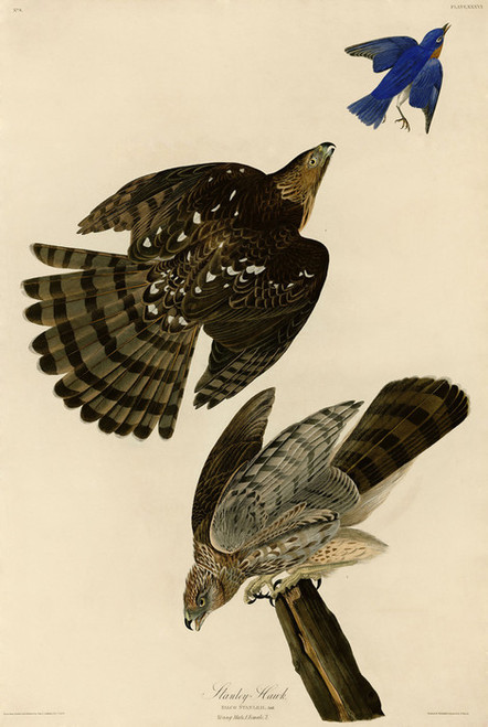 Art Prints of Stanley Hawk by John James Audubon