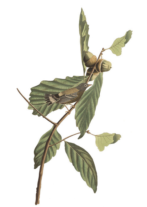 Art Prints of Swainson's Warbler by John James Audubon