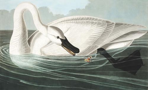 Art Prints of Trumpeter Swan by John James Audubon