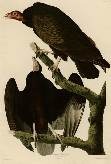 Art Prints of Turkey Buzzard by John James Audubon