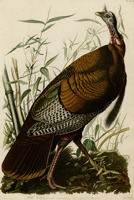 Art Prints of Wild Turkey II by John James Audubon