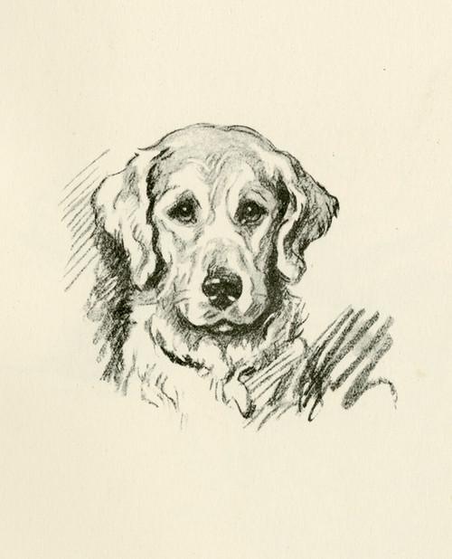 Art Prints of Billy, Golden Retriever by Lucy Dawson