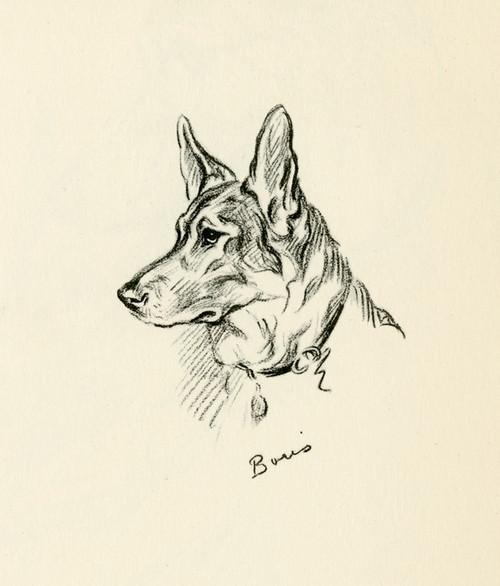 Art Prints of Boris, German Shepherd by Lucy Dawson