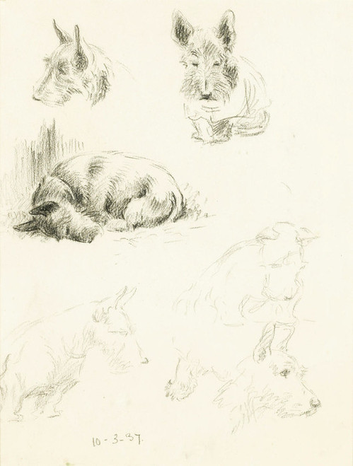 Art Prints of Dog Studies of Scottish Terrier by Lucy Dawson