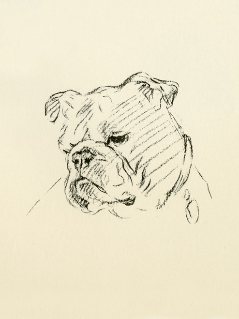 Art Prints of Head of a Bulldog by Lucy Dawson