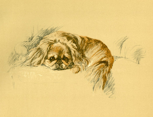 Art Prints of Nanki Poo, Pekingese by Lucy Dawson