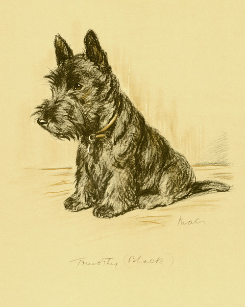 Art Prints of Timothy, Scottish Terrier by Lucy Dawson