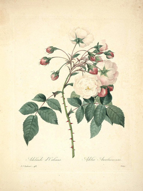 Art Prints of Adelaide of Orleans Rose, Plate 51 by Pierre-Joseph Redoute