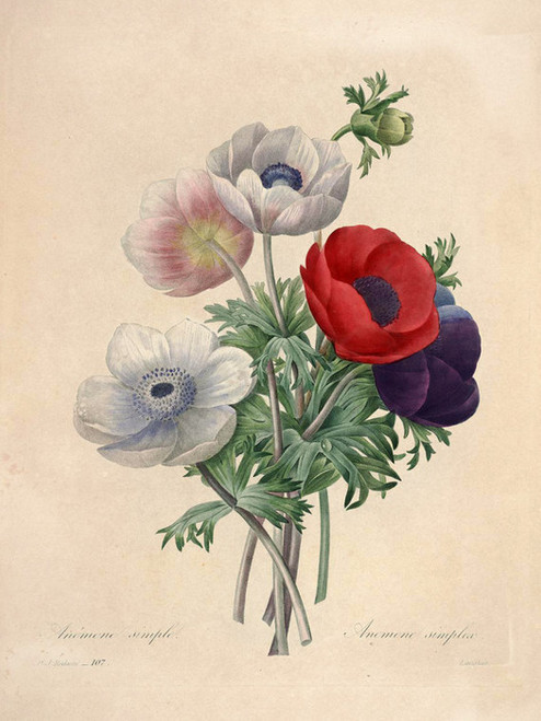 Art Prints of Anemone, Plate 110 by Pierre-Joseph Redoute