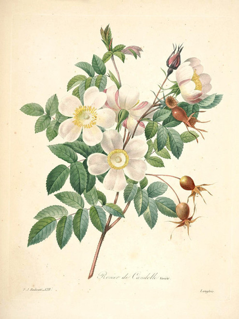 Art Prints of Candolle Rose, Plate 130 by Pierre-Joseph Redoute