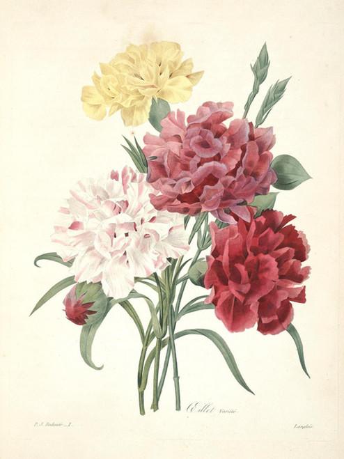 Art Prints of Carnation, Plate 4 by Pierre-Joseph Redoute
