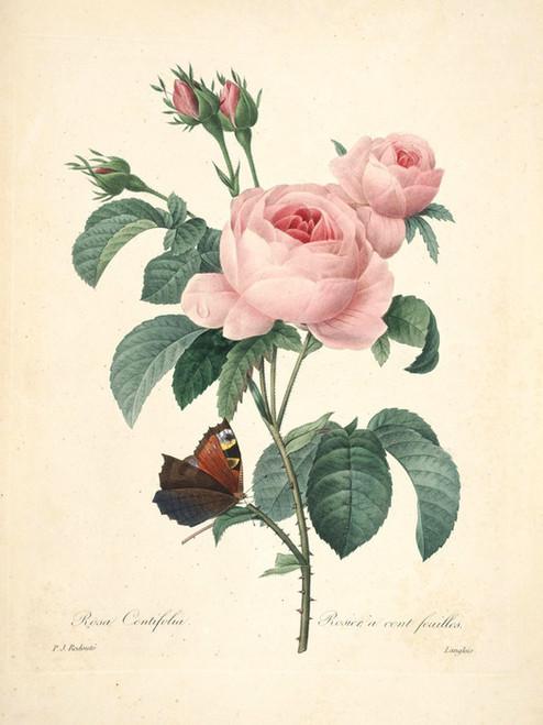 Art Prints of Centifolia Rose, Plate 139 by Pierre-Joseph Redoute